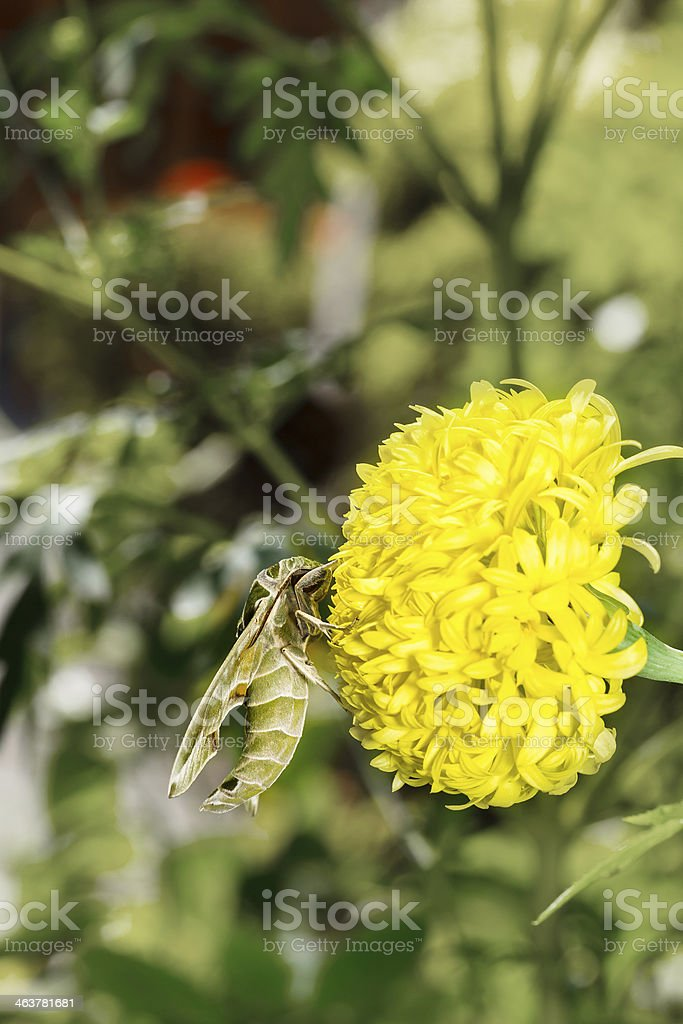 Hawk moth on marigold flower stock photo