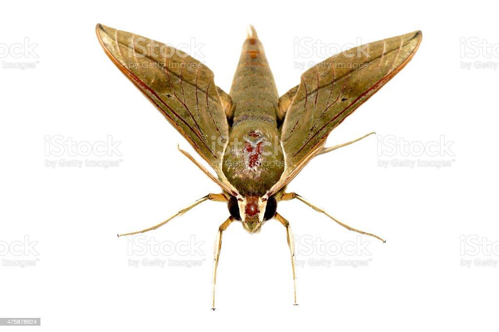 Hawk moth on white background. stock photo