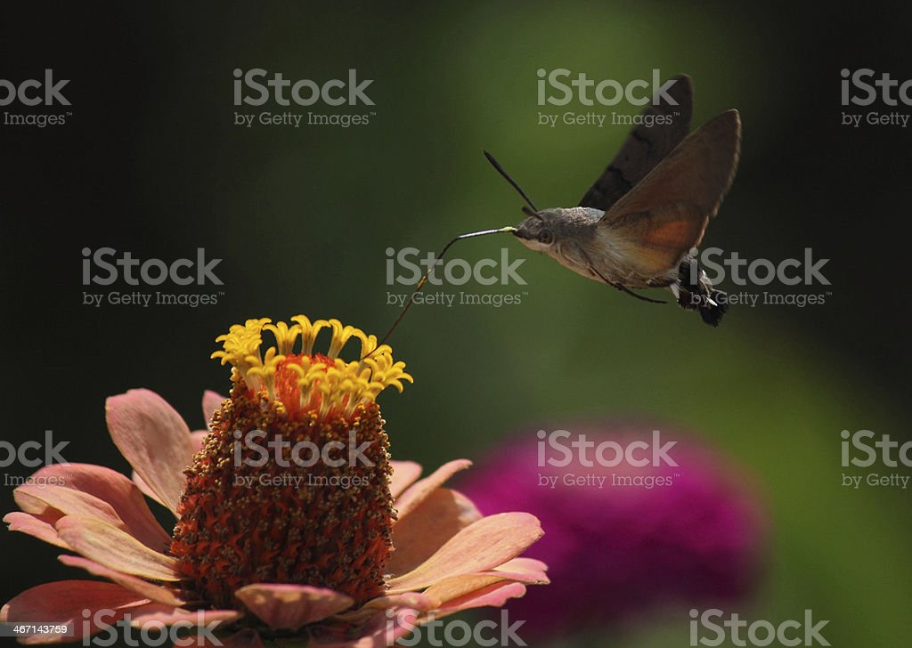 hawk moth stock photo