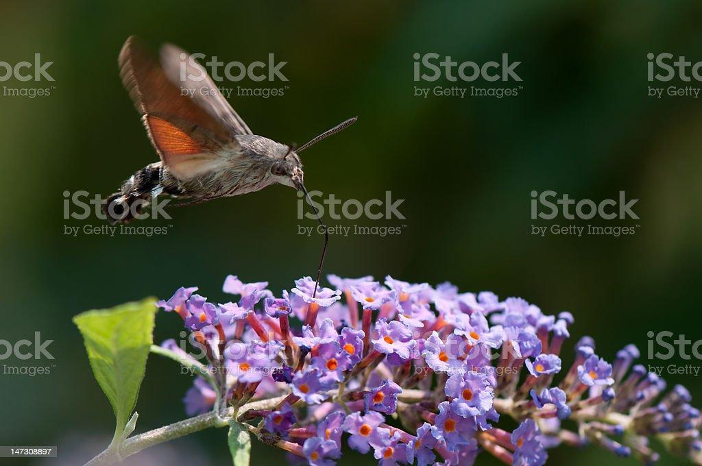 Hawk Moths - Macroglossum Stellatarum stock photo