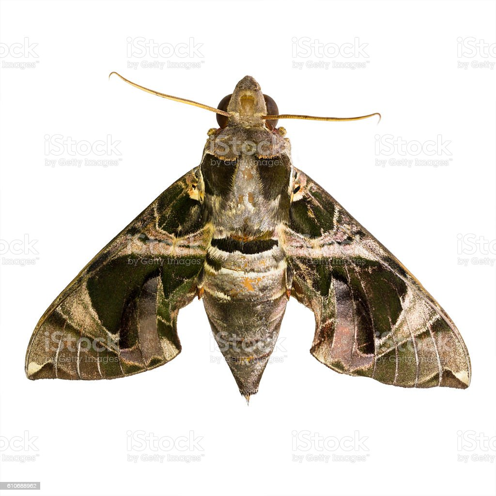 Hawk Moths or Sphinx Moths stock photo