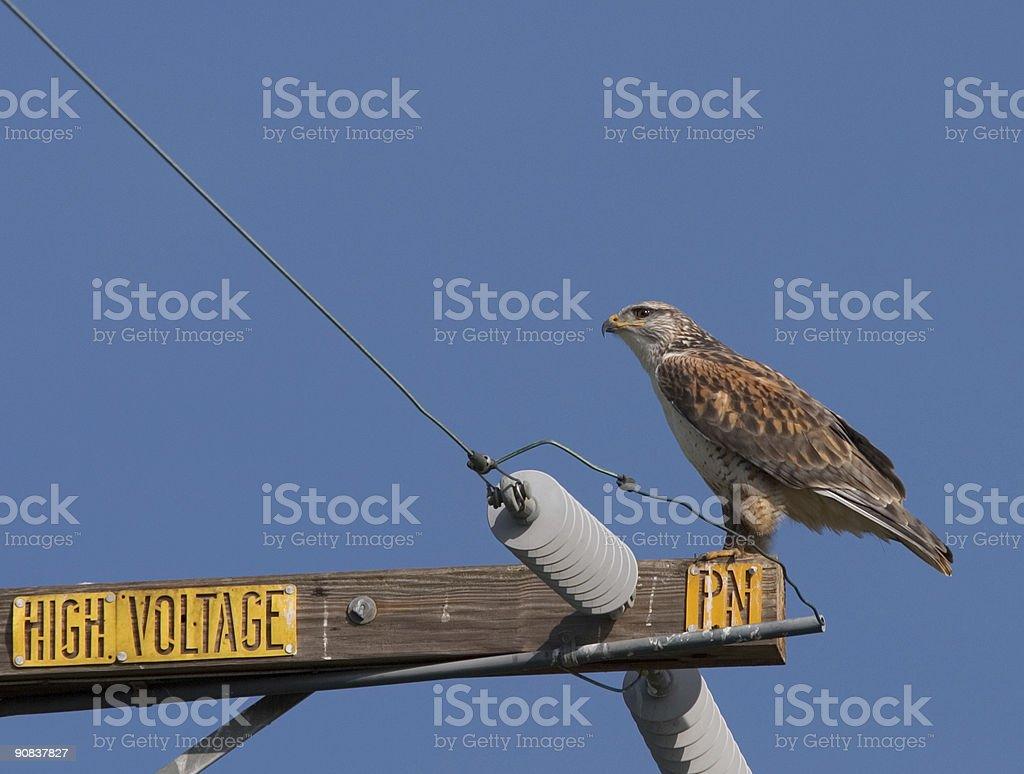 Hawk on power pole stock photo