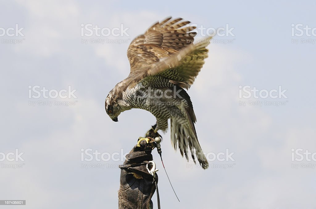 Hawk on the Glove stock photo