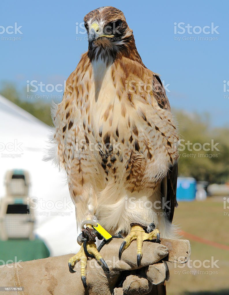 Hawk On Trainers Hand royalty-free stock photo