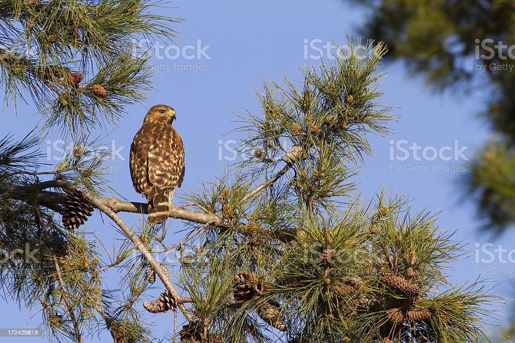Hawk royalty-free stock photo