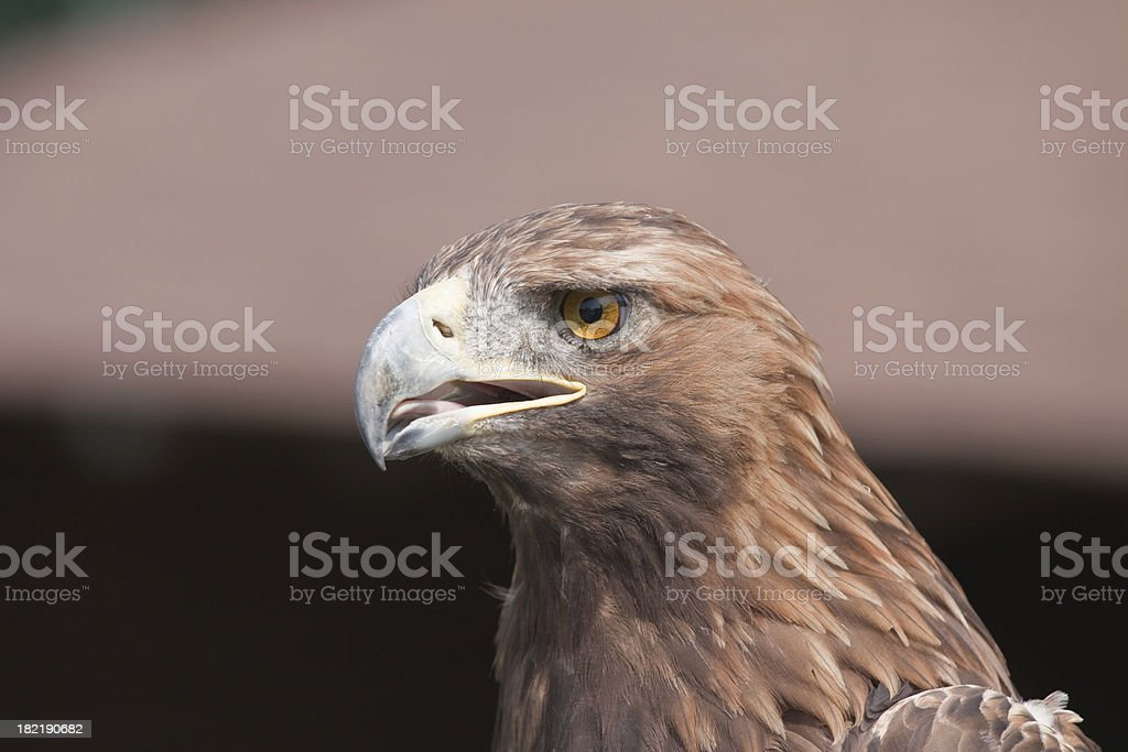 Hawk portrait closeup stock photo