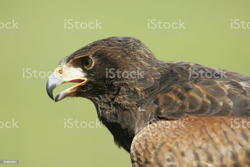 Hawk portrait royalty-free stock photo