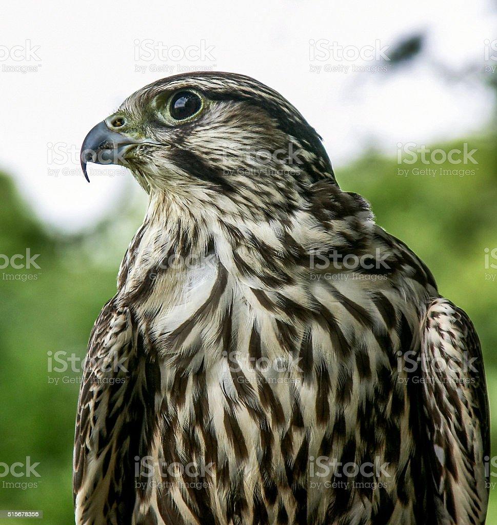 Hawk profile portrait stock photo