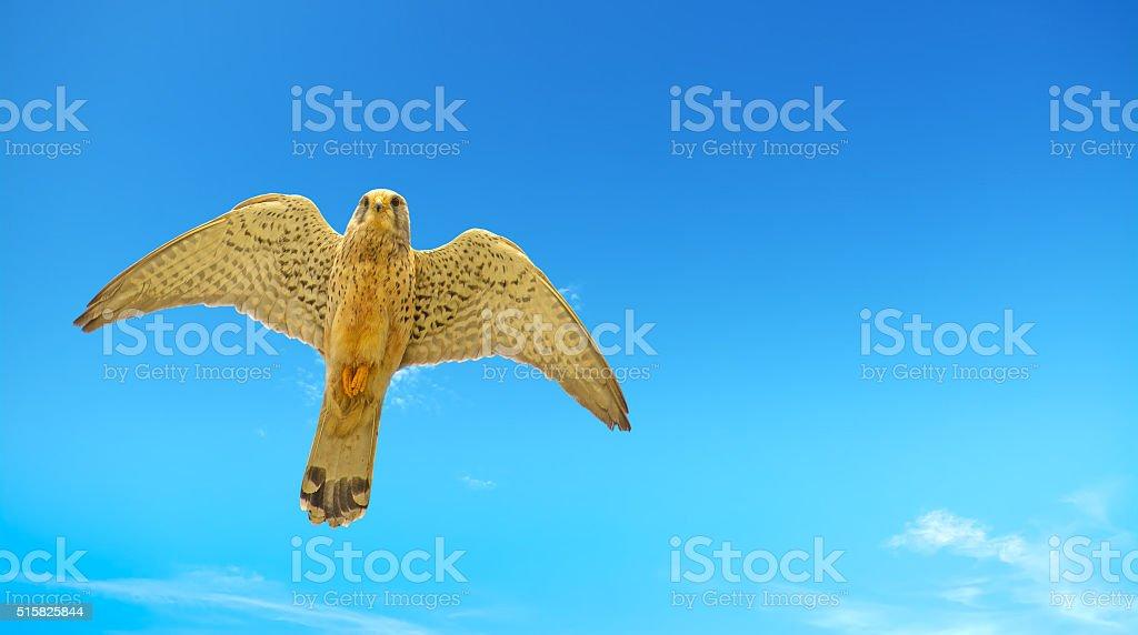 hawk seen from below stock photo