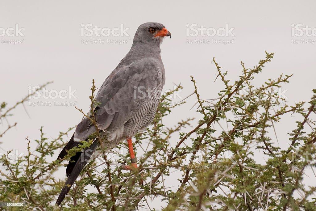 Hawk sitting in the tree stock photo