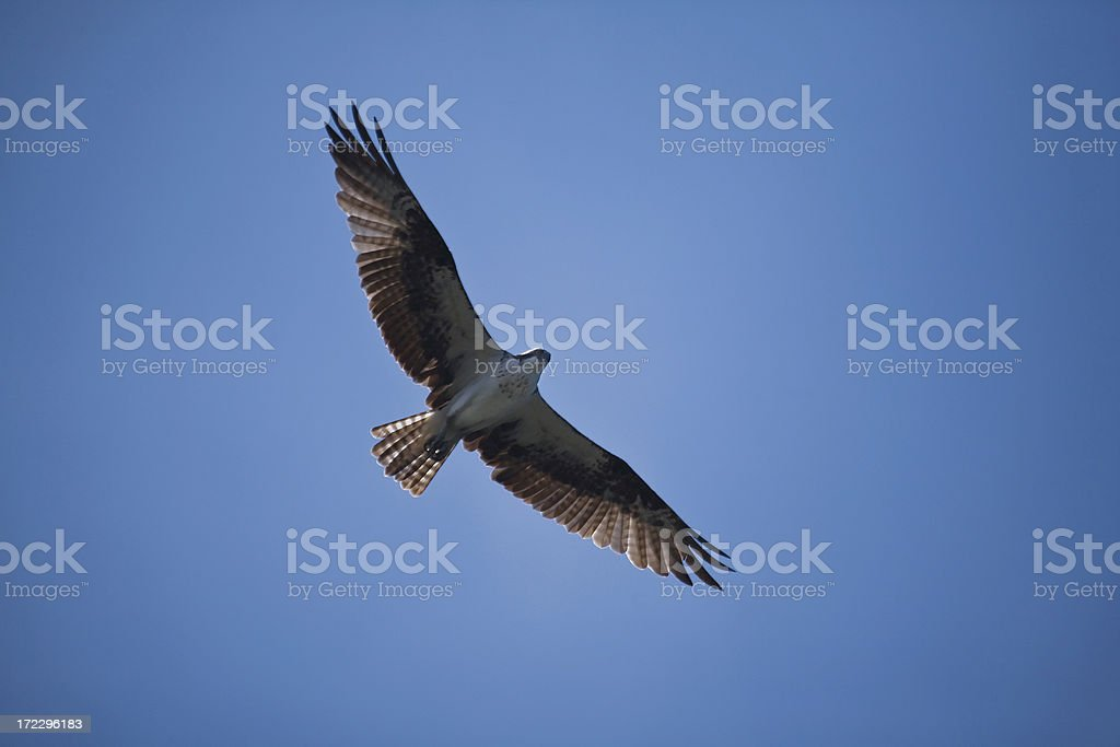 hawk soaring above royalty-free stock photo