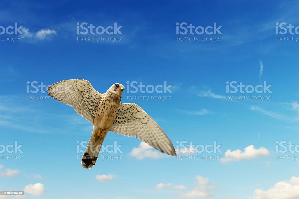 hawk under a blue sky with clouds stock photo
