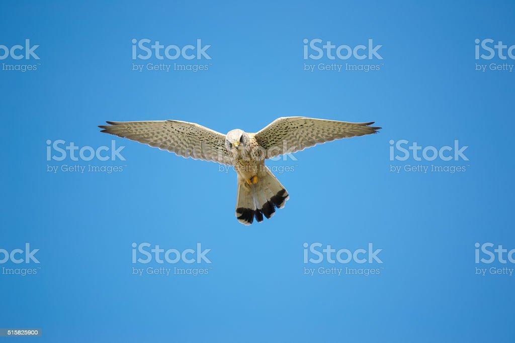 hawk under a clear sky stock photo