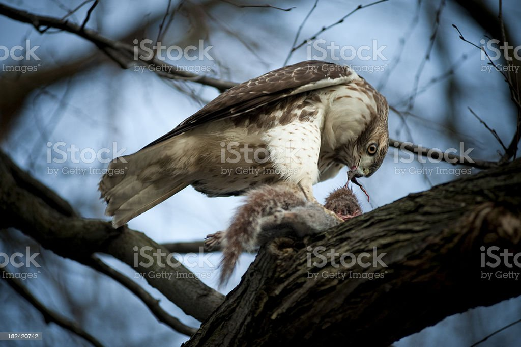 Hawk VS Squirrel - guess who wins... stock photo