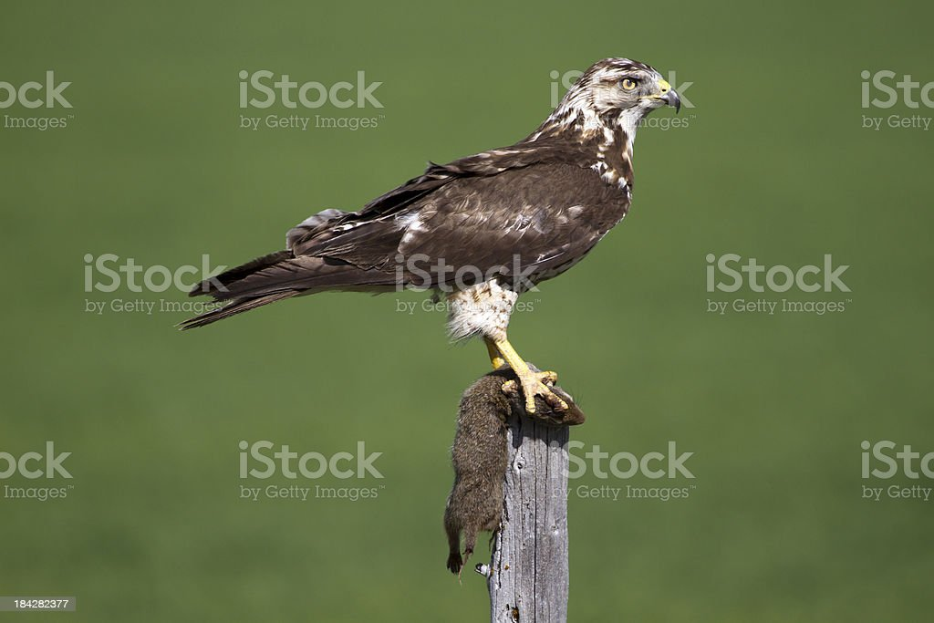 Hawk with it's Ground Squirrel Catch. stock photo