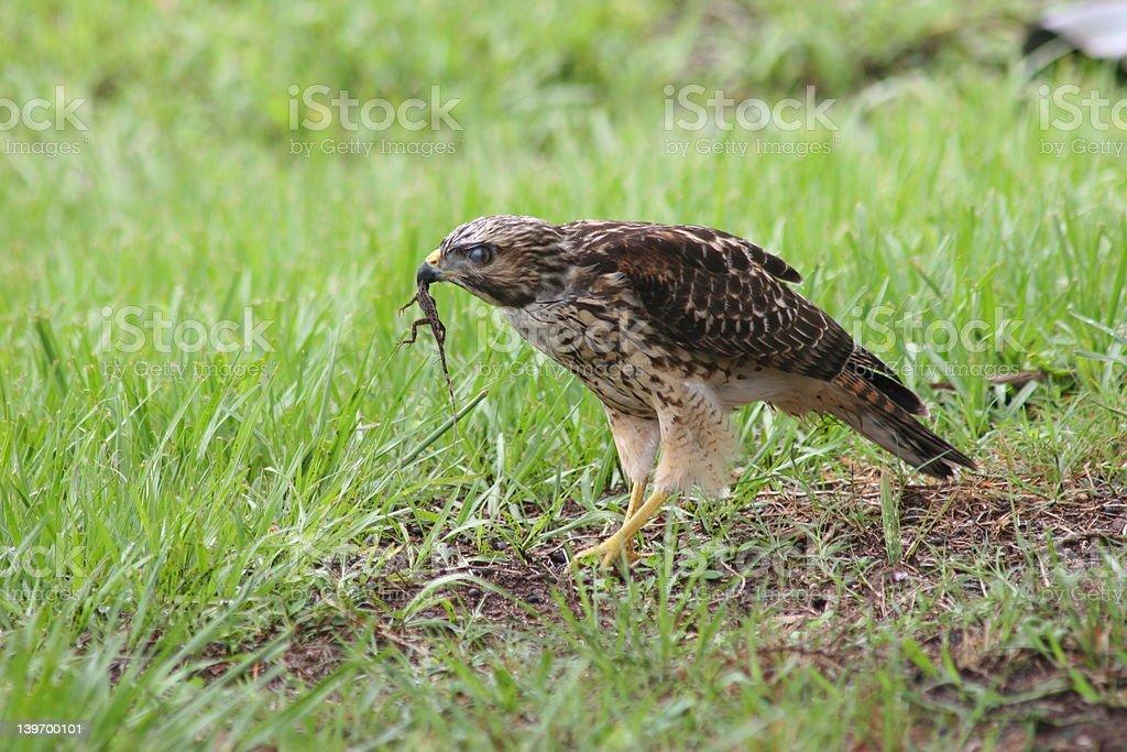 Hawk con facilidad foto de stock libre de derechos