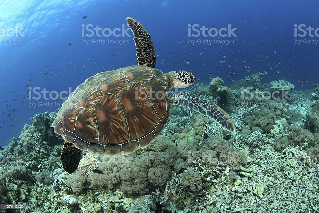 Hawkbill Turtle stock photo