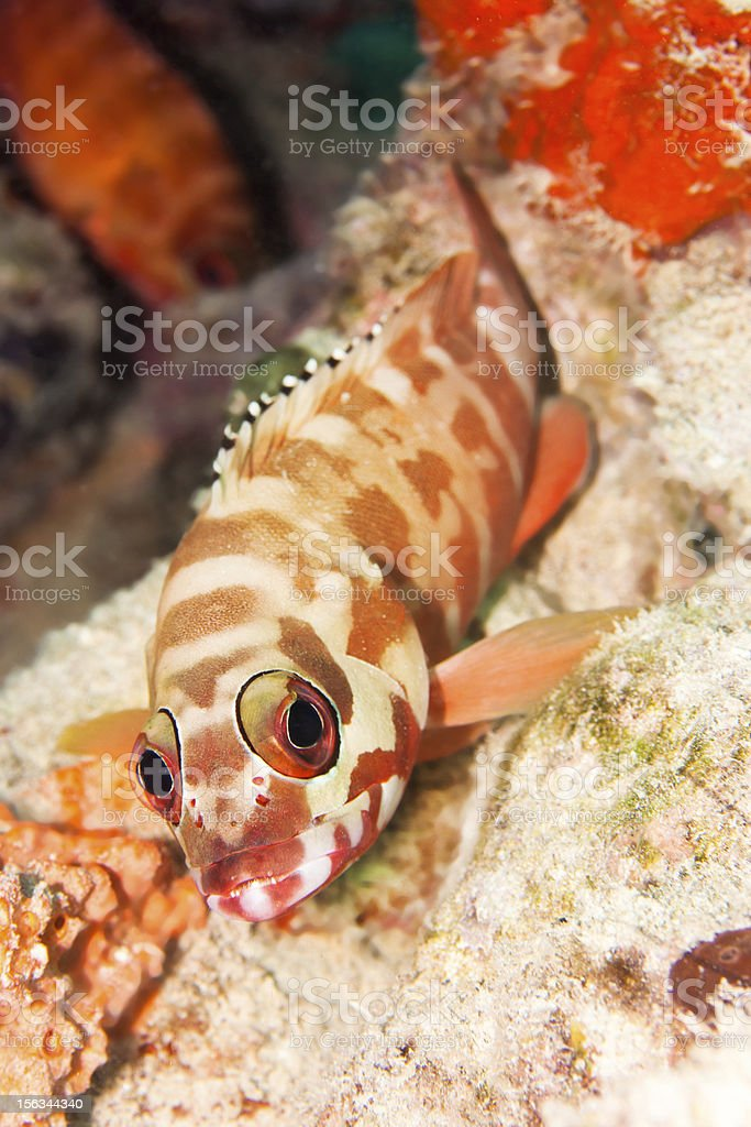 Hawkfish royalty-free stock photo