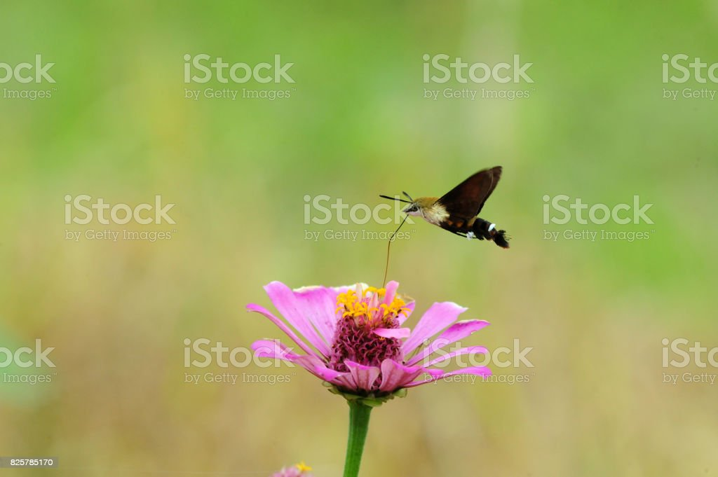 hawkmoth stock photo
