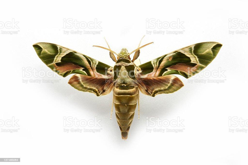 Hawkmoth...Deilephila nerii stock photo