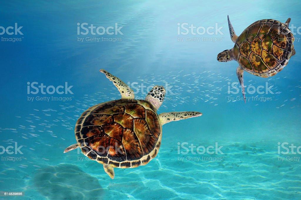 hawks bill sea turtle dive down stock photo