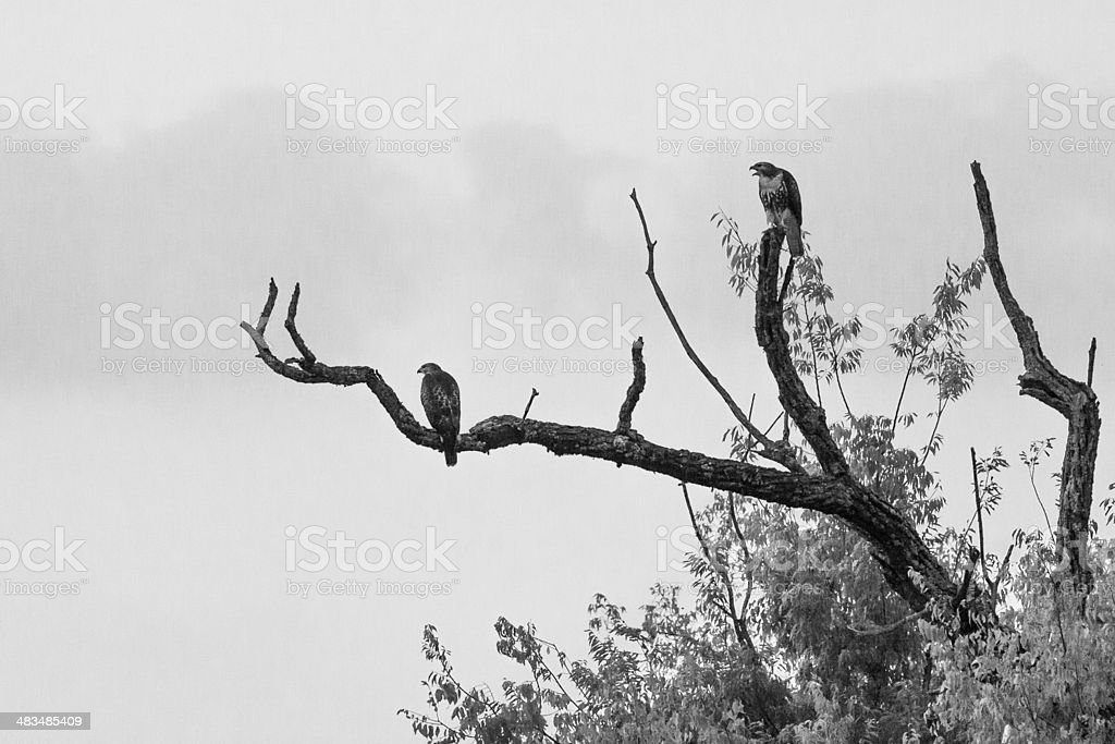 Hawks in a Tree stock photo