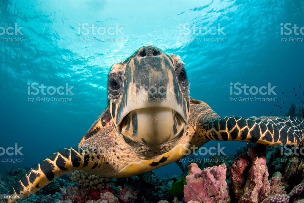 hawksbill close-up royalty-free stock photo