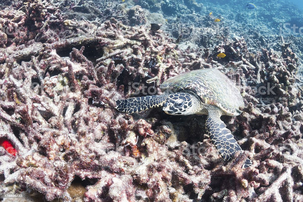 Hawksbill sea turtle at Surin national park royalty-free stock photo