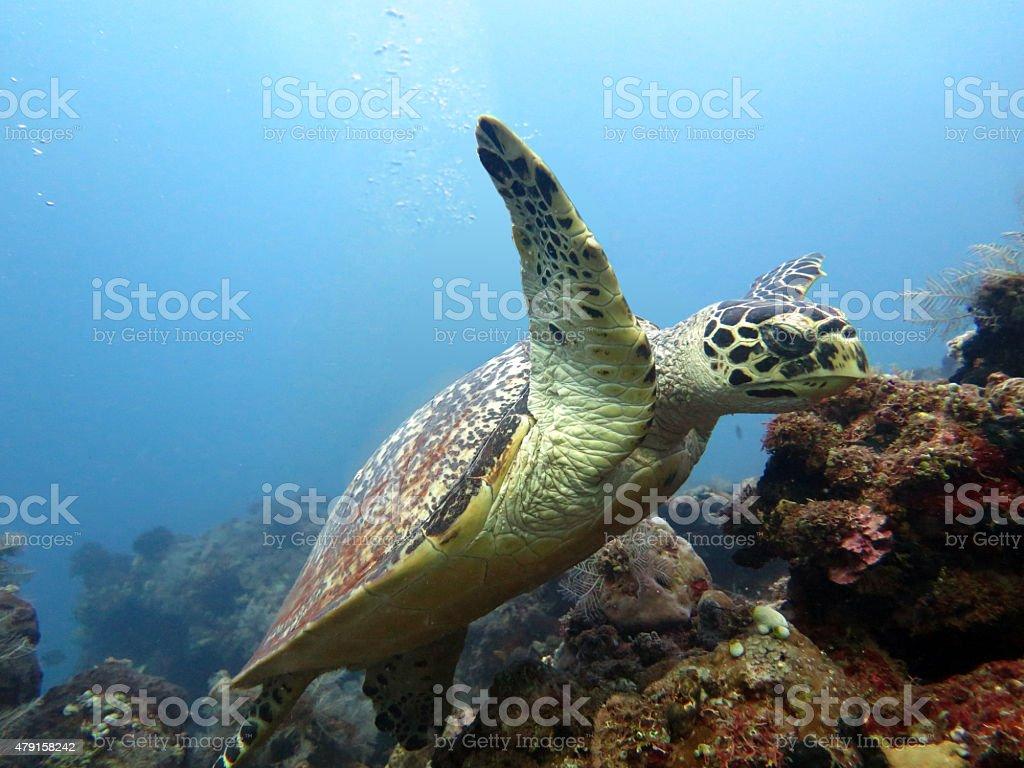 Hawksbill  sea turtle   current on coral reef  island, Bali. stock photo