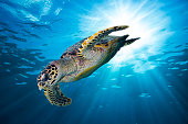hawksbill sea turtle dive down into the deep blue ocean