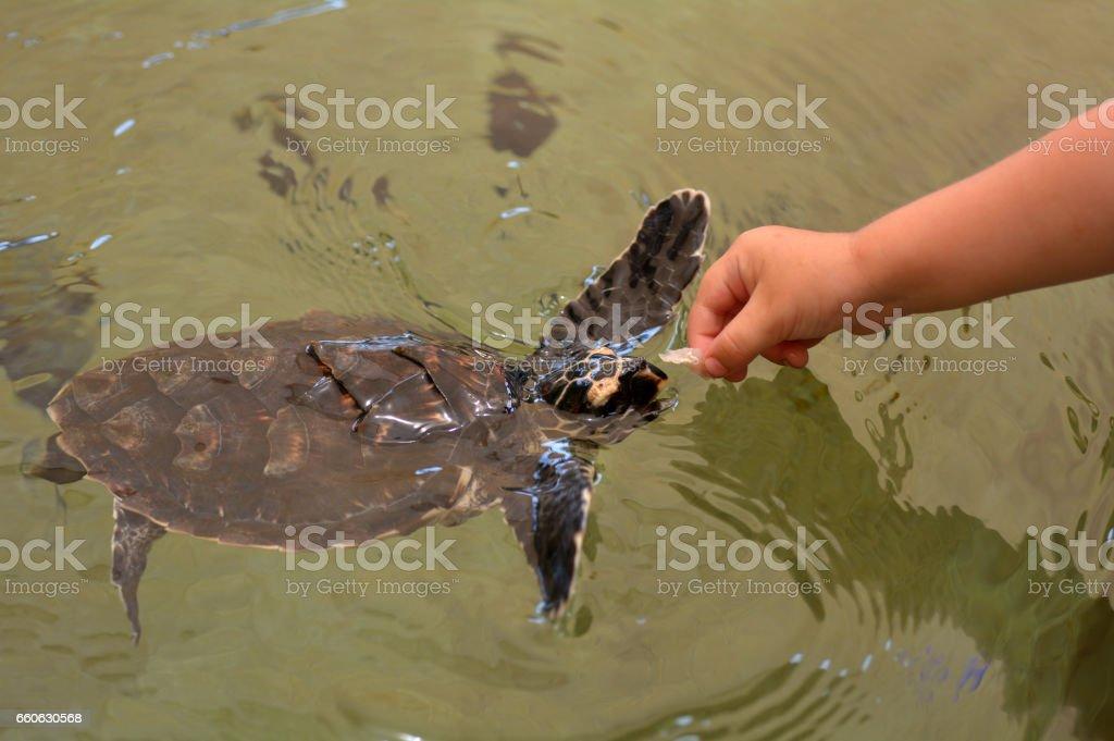 Hawksbill Sea Turtle in Fiji stock photo