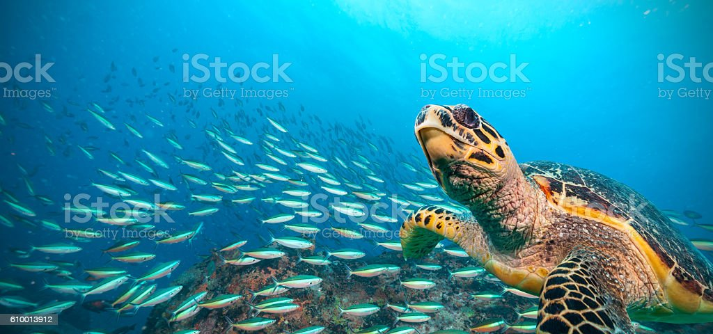 Hawksbill Sea Turtle in Indian ocean stock photo