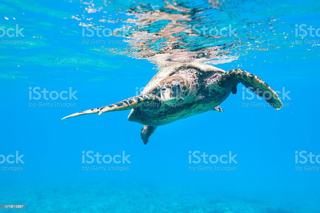 Hawksbill Sea Turtle (Eretmochelys imbricata) in Wildlife royalty-free stock photo