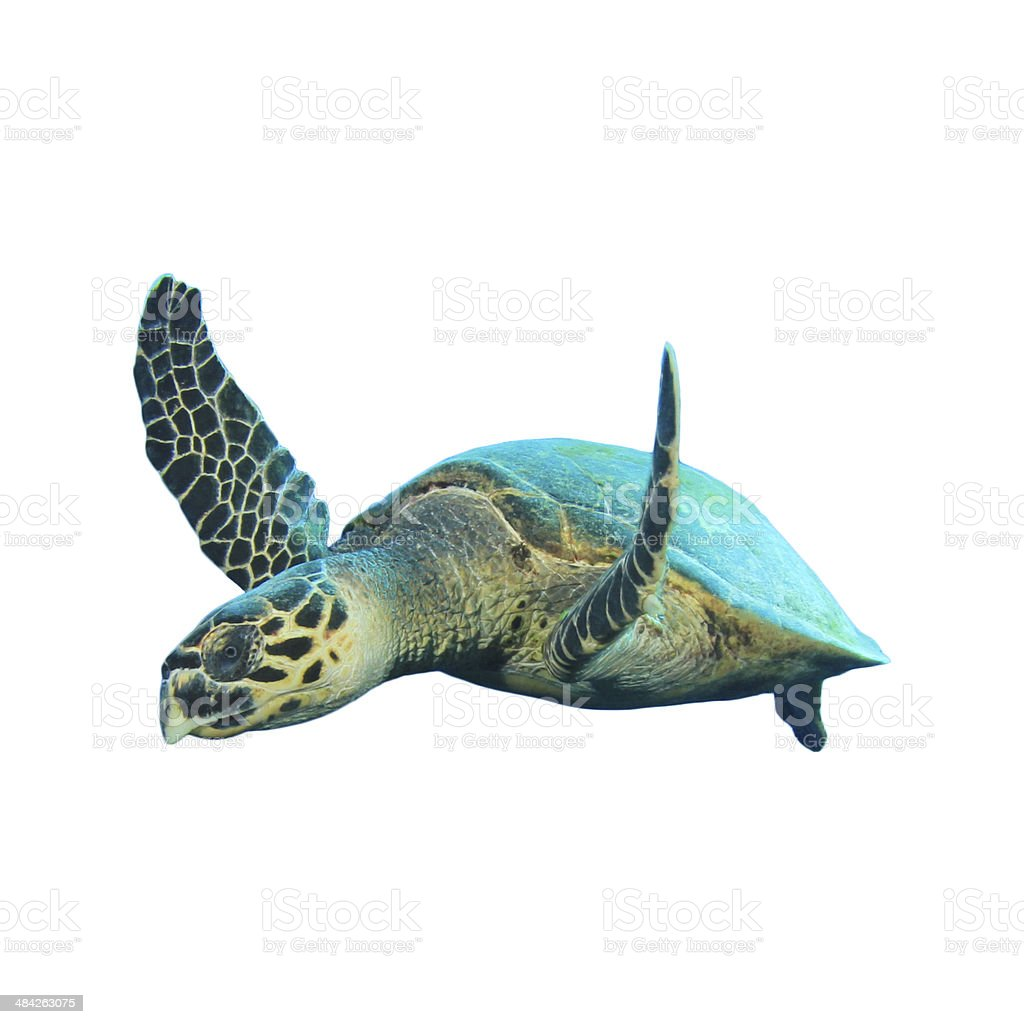 Hawksbill Sea Turtle isolated stock photo