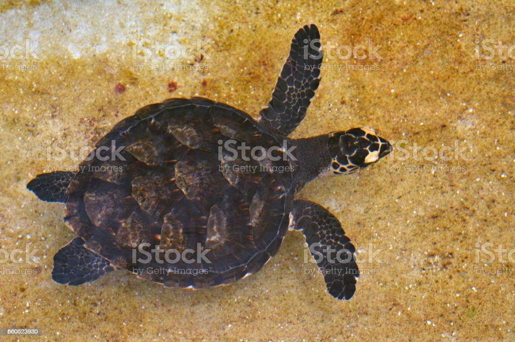Hawksbill Sea Turtle off the coast of Fiji stock photo