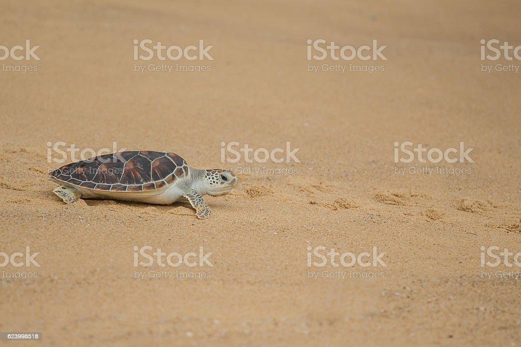 Hawksbill sea turtle on the beach, Thailand. stock photo