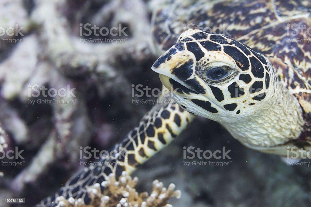 Hawksbill sea turtle (Eretmochelys imbricata) royalty-free stock photo