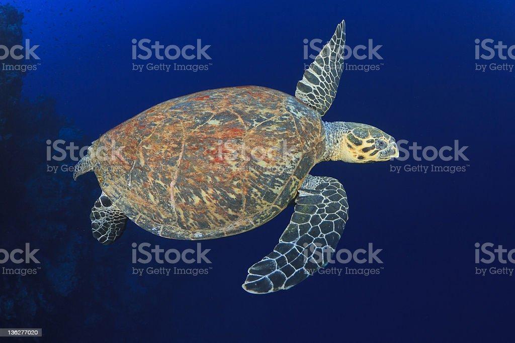 A hawksbill sea turtle swimming in the sea stock photo