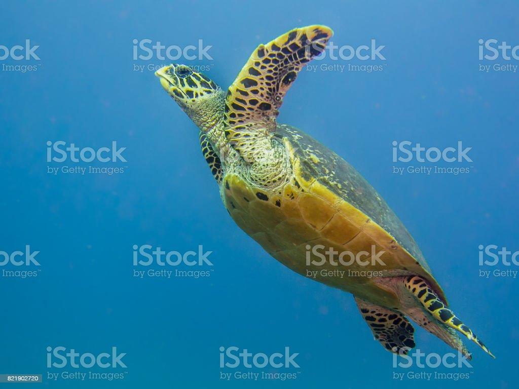 Hawksbill sea turtle swimming stock photo