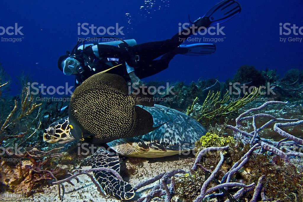 Hawksbill Turtle and French Angelfish stock photo
