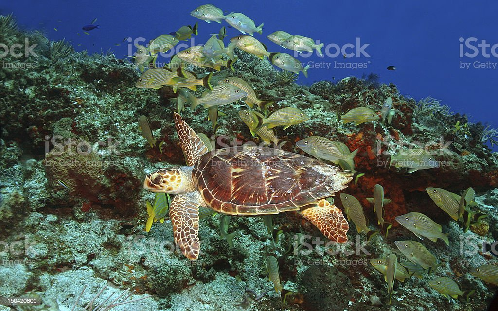 Hawksbill Turtle and School of Fish - Cozumel, Mexico stock photo