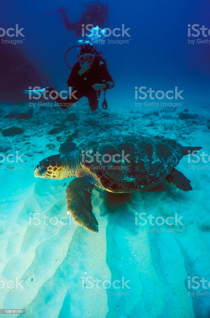 A hawksbill turtle at the sea and a scuba diver stock photo