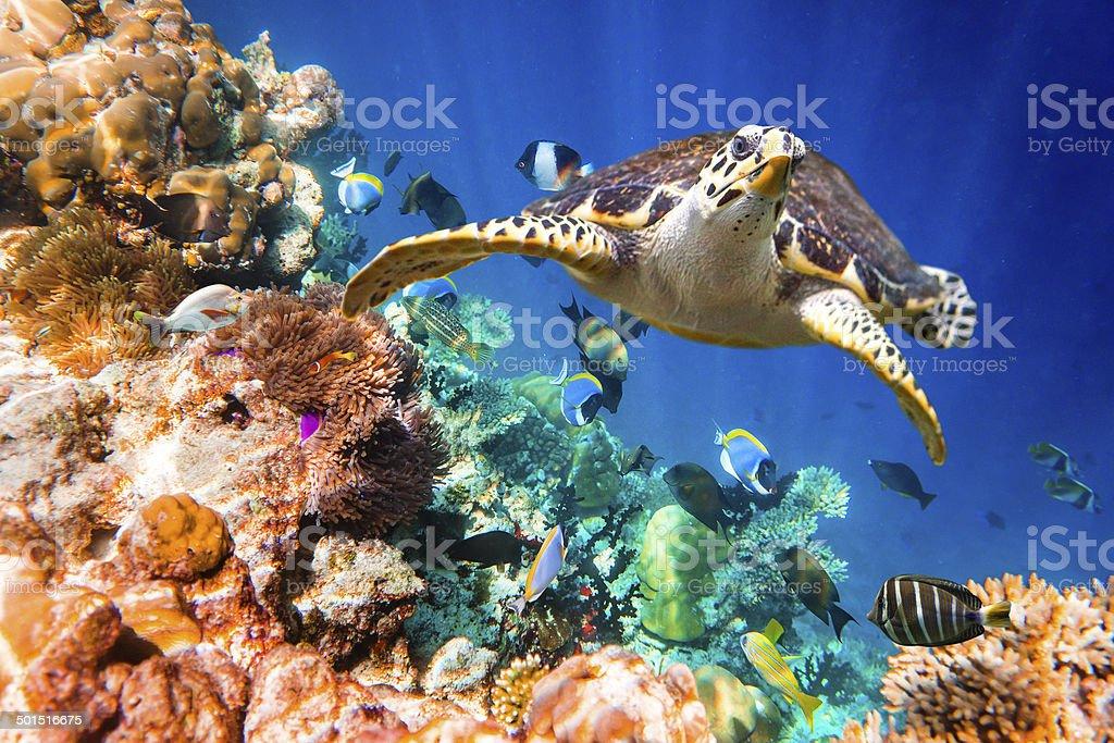 Hawksbill Turtle - Eretmochelys imbricata stock photo