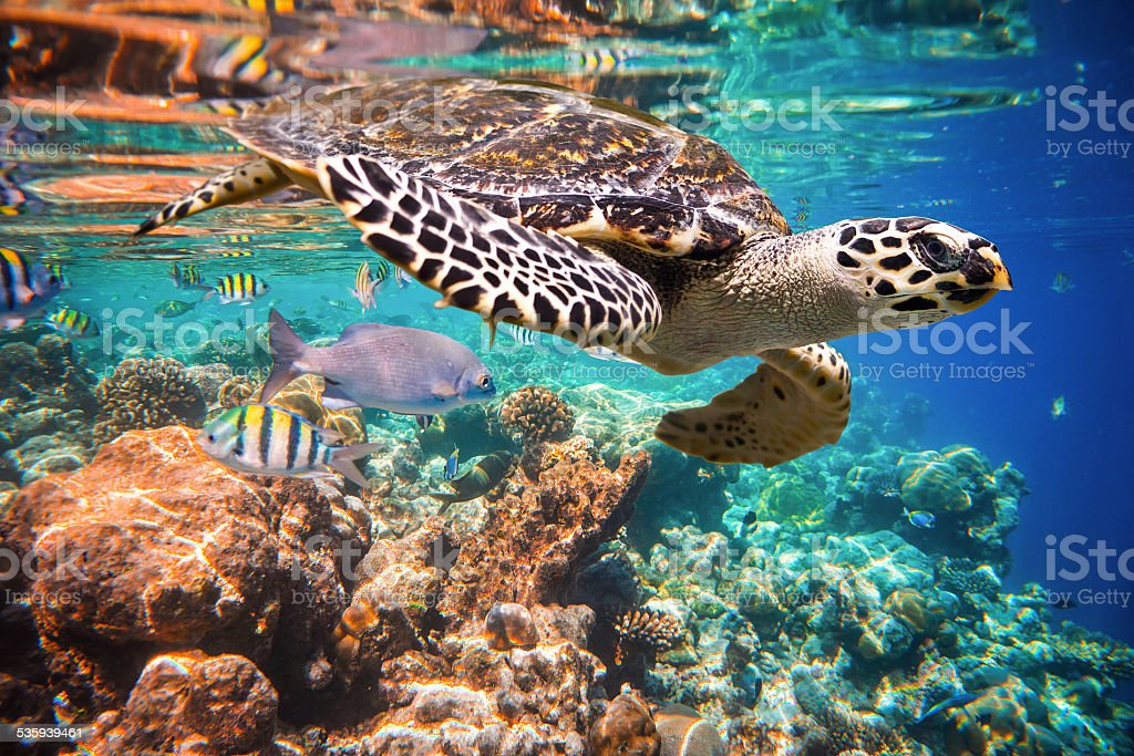 Hawksbill Turtle - Eretmochelys imbricata stock photo