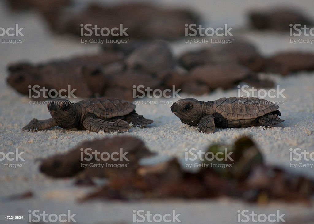 Hawksbill Turtle Hatchlings stock photo
