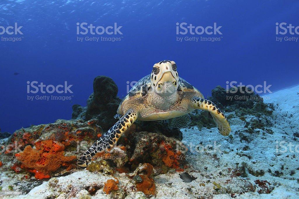 Hawksbill Turtle (Eretmochelys imbricata) in Cozumel Mexico stock photo