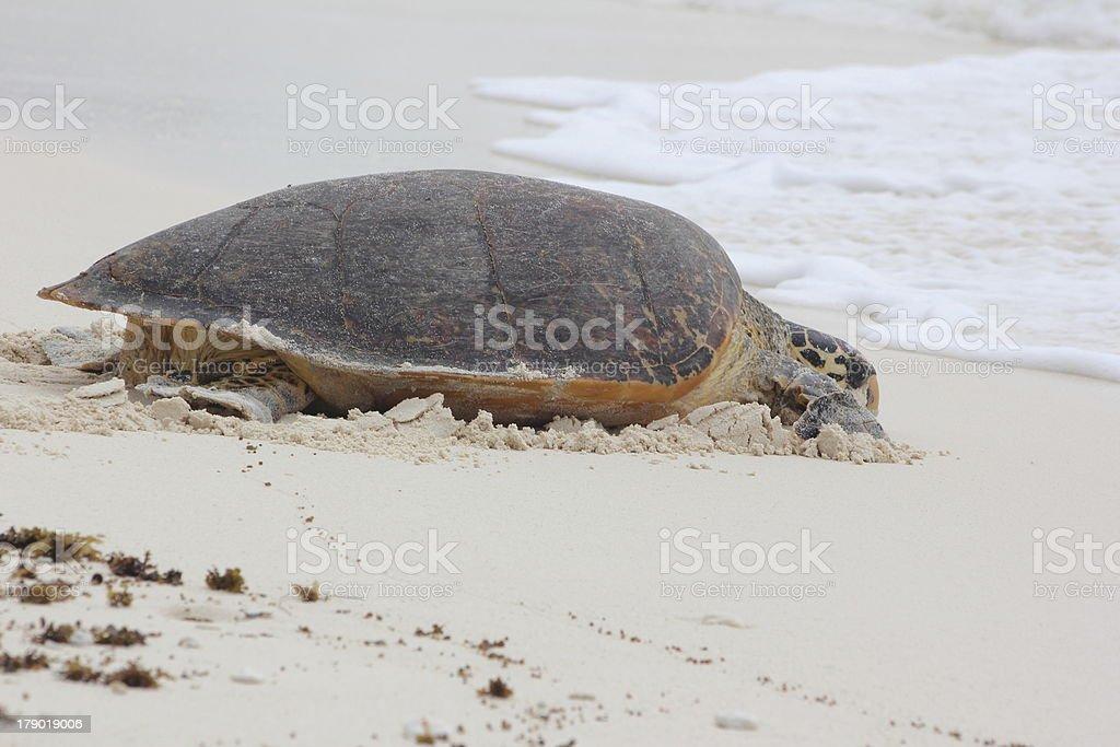 Hawksbill Turtle Nesting on Cousin Island, Seychelles, Indian Ocean, Africa stock photo