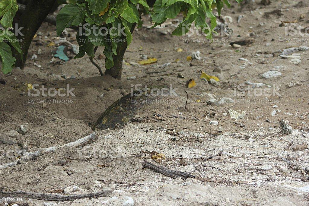 Hawksbill Turtle Nesting on Cousin Island, Seychelles, Indian Ocean, Africa royalty-free stock photo