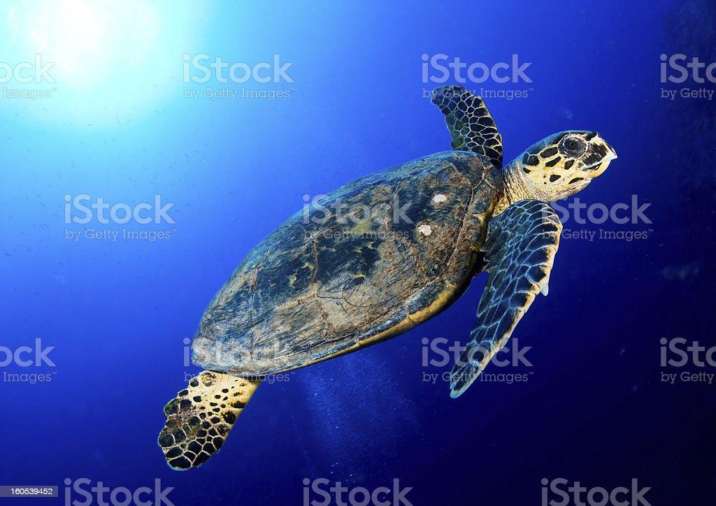 Hawksbill turtle stock photo