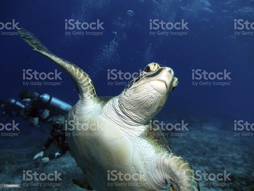 Hawksbill Turtle royalty-free stock photo